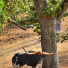 cow_1938