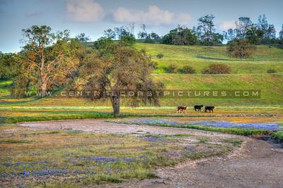 wildflower cows 0978-