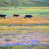 wildflower cow 0970-