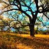 ca-valley-oak-tree_6113-color