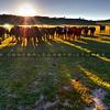 cows_6796