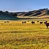 cows_6779