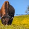 buffalo-3702