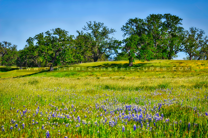 Wildflowers and Oaks