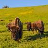 buffalo-3737