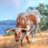 longhorn-cow_1918