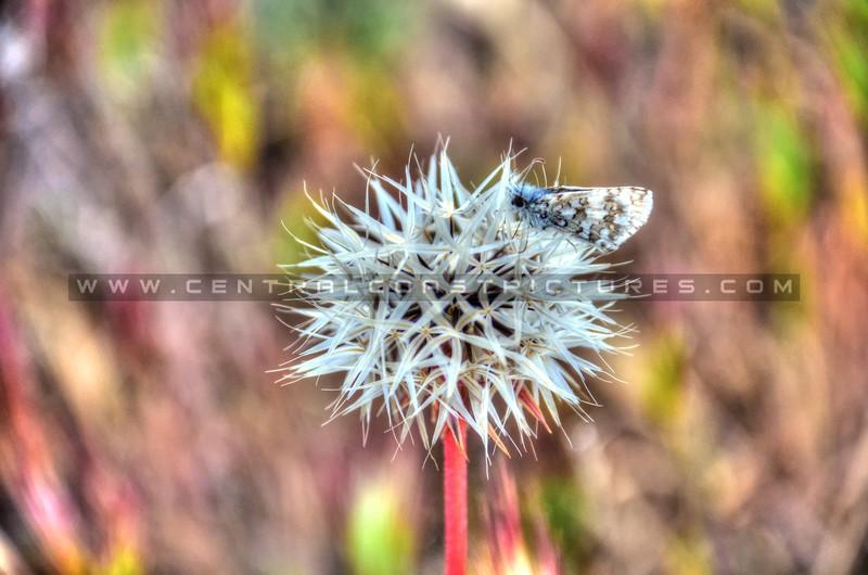 moth-dandelion_6195