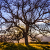 santa margarita oak tree-8462
