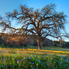 oak-tree-wildflowers_6755