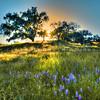 oak-tree-wildflowers-huasna_2041