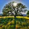 oak tree_6378
