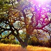 santa-margarita-oak-tree_6119