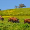 buffalo-3716