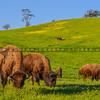 buffalo-3786