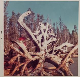 "North Cove ""iconic tree stump"" 1972. Linda Karjala"