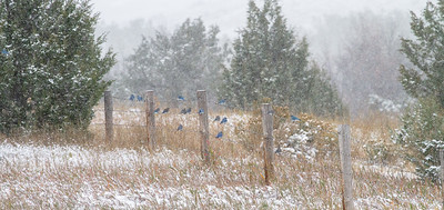 Mountain Bluebird flock on barbed wire fence in snow Theodore Roosevelt National Park Medora ND  IMG_1842