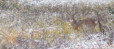 White-tailed Deer buck Theodore Roosevelt National Park Medora ND  IMG_2002