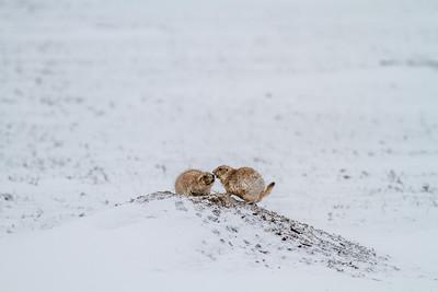 Black-tailed Prairie Dog Theodore Roosevelt National Park Medora ND  IMG_1946