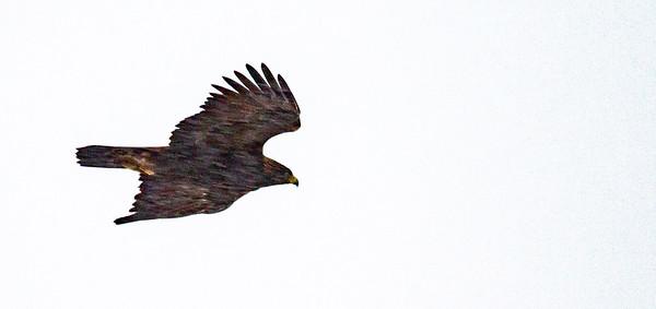 Golden Eagle Theodore Roosevelt National Park Medora ND  IMG_2100