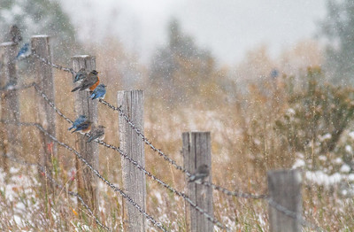 Mountain Bluebird flock on barbed wire fence in snow Theodore Roosevelt National Park Medora ND  IMG_1800
