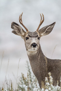Mule Deer buck Theodore Roosevelt National Park Medora ND  IMG_1757