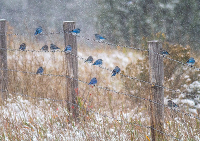 Mountain Bluebird flock on barbed wire fence in snow Theodore Roosevelt National Park Medora ND  IMG_1837