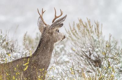 Mule Deer buck Theodore Roosevelt National Park Medora ND  IMG_1731