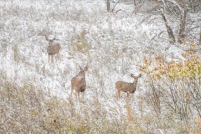 Mule Deer Theodore Roosevelt National Park Medora ND  IMG_2059