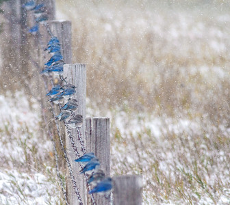 Mountain Bluebird flock on barbed wire fence in snow Theodore Roosevelt National Park Medora ND  IMG_1861
