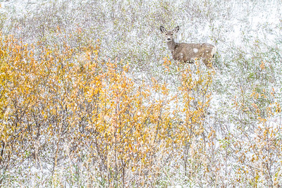 Mule Deer Theodore Roosevelt National Park Medora ND  IMG_2048