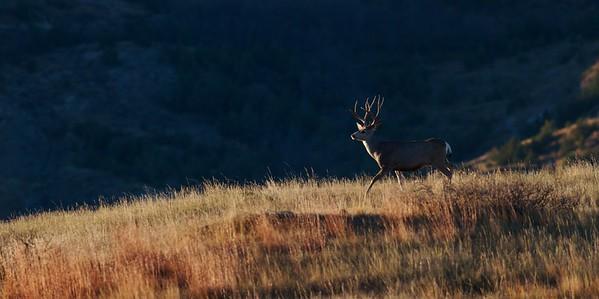 Mule Deer landscape Theodore Roosevelt NP South Unit ND IMG_0008196