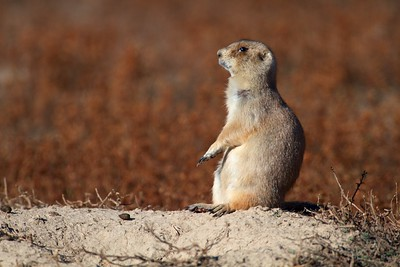 Black-tailed Prairie Dog Teddy Roosevelt NP South Unit ND IMG_0008416