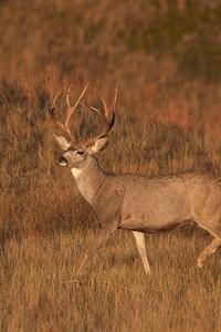 Mule Deer buck Theodore Roosevelt NP South Unit ND IMG_0008160
