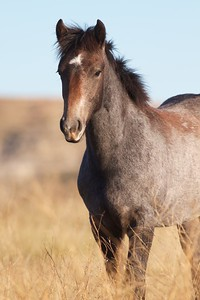 Wild Horse Theodore Roosevelt NP South Unit ND IMG_0008252