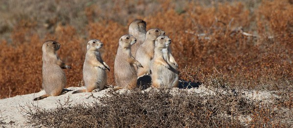 Black-tailed Prairie Dogs Teddy Roosevelt NP South Unit ND IMG_0008374