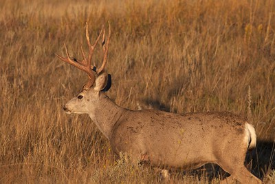 Mule Deer buck Theodore Roosevelt NP South Unit ND IMG_0008153