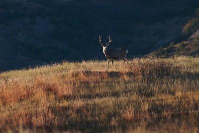 Mule Deer landscape Theodore Roosevelt NP South Unit ND IMG_0008199