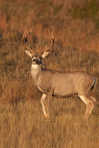 Mule Deer buck Theodore Roosevelt NP South Unit ND IMG_0008162