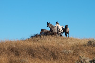 Wild Horses Theodore Roosevelt NP South Unit ND IMG_0008306