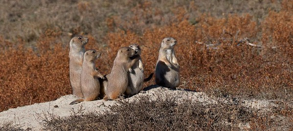 Black-tailed Prairie Dogs Teddy Roosevelt NP South Unit ND IMG_0008360