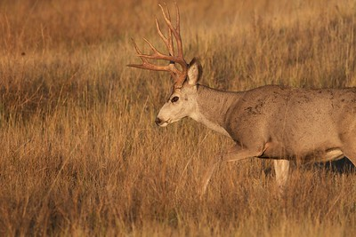 Mule Deer buck Theodore Roosevelt NP South Unit ND IMG_0008154