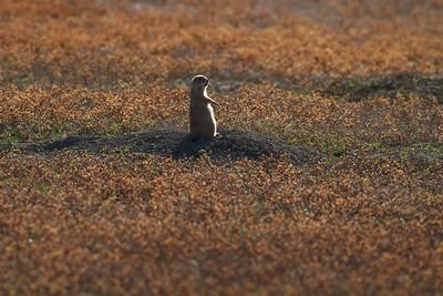Black-tailed Prairie Dog TRNP South Unit North Dakota IMG_0008423