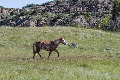 Wild Horse feral horse Theodore Roosevelt National Park Medora NDIMG_0277