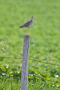 Upland Sandpiper on fence post Kidder Co ND IMG_1438