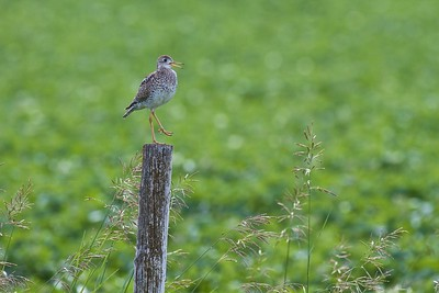 Upland Sandpiper on fence post Kidder Co ND IMG_1462