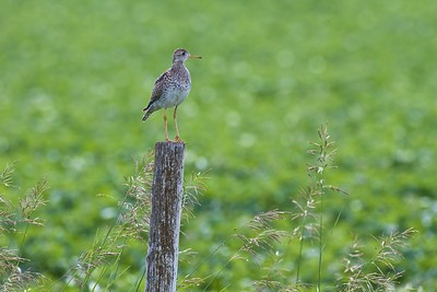 Upland Sandpiper on fence post Kidder Co ND IMG_1455