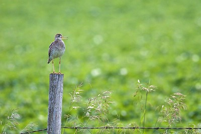 Upland Sandpiper on fence post Kidder Co ND IMG_1497
