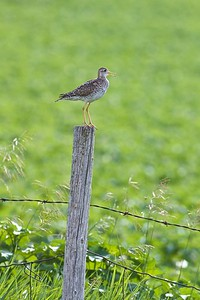 Upland Sandpiper on fence post Kidder Co ND IMG_1435