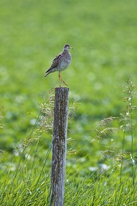 Upland Sandpiper on fence post Kidder Co ND IMG_1466