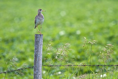 Upland Sandpiper on fence post Kidder Co ND IMG_1498